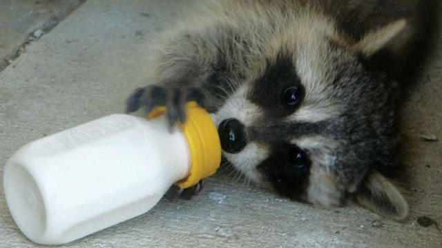 baby-raccoon-640x360